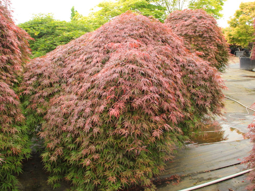 This fantastic red laceleaf Japanese maple has a refined, cascading habit and long-term seasonal interest. Spring leaves emerge bright orange-red, then turn burgundy-green by summer.   A second flush of summer growth repeats the bright spring show and produces a beautiful contrast against the older foliage. Dark red and fiery orange-red colors finish the display in fall. Dissectum.