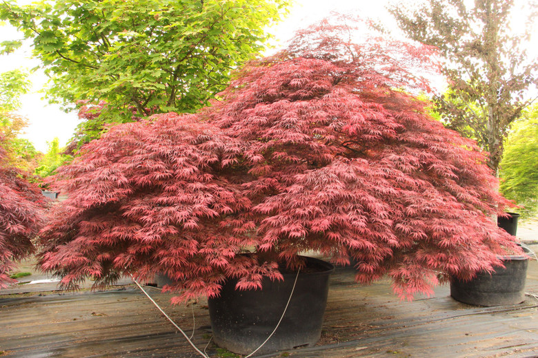 The rich, purple-red leaves of this laceleaf Japanese maple boast a deeper color than other reds and retain it throughout summer without going bronze. In fall, the leaves turn crimson to match the striking red leaf stalks. The very large leaves, less finely dissected than others, have a sturdier look. Also known as 'Inabe shidare.'  Dissectum.