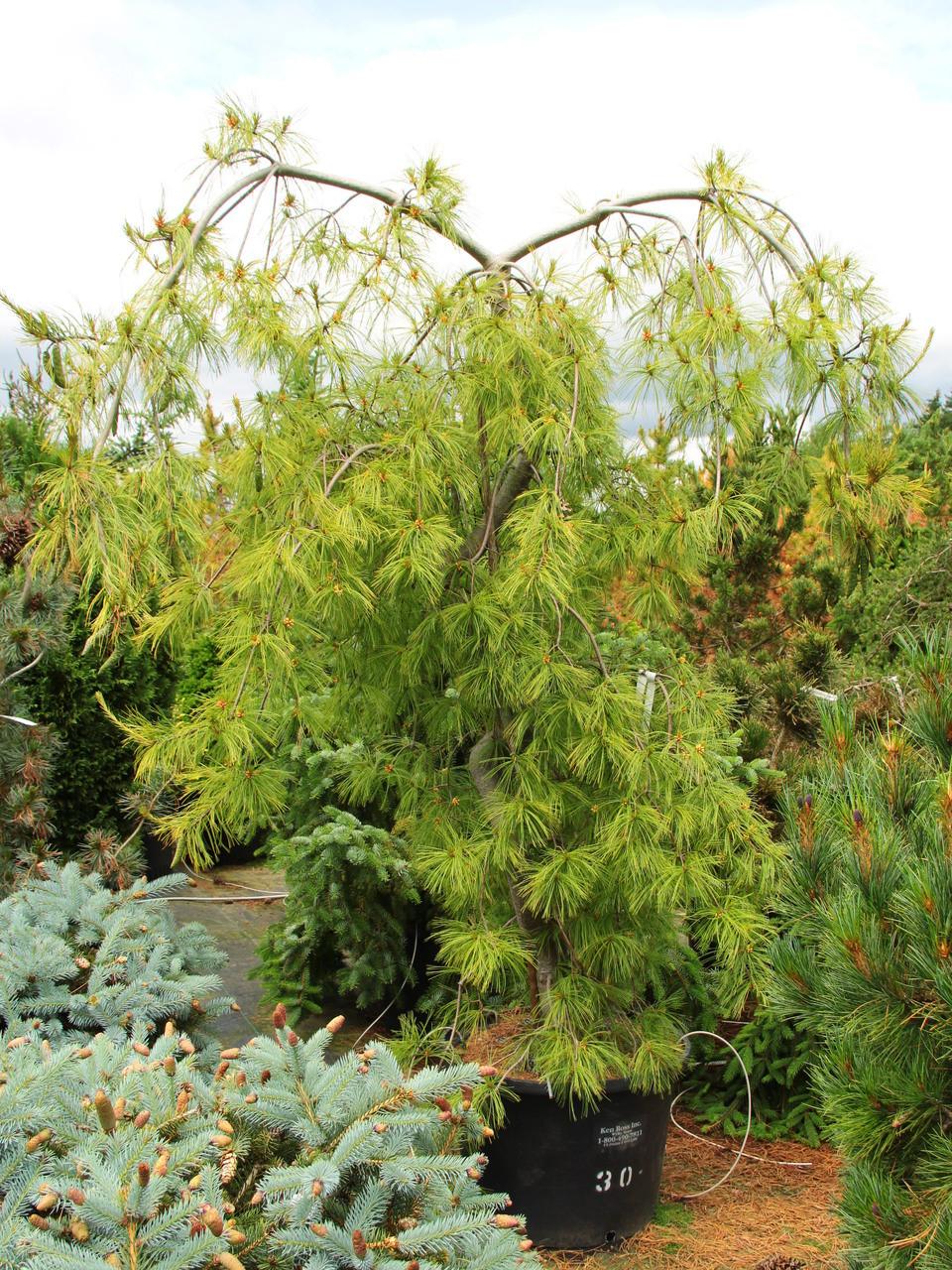 Pinus Strobus Pendula Specimen 1418