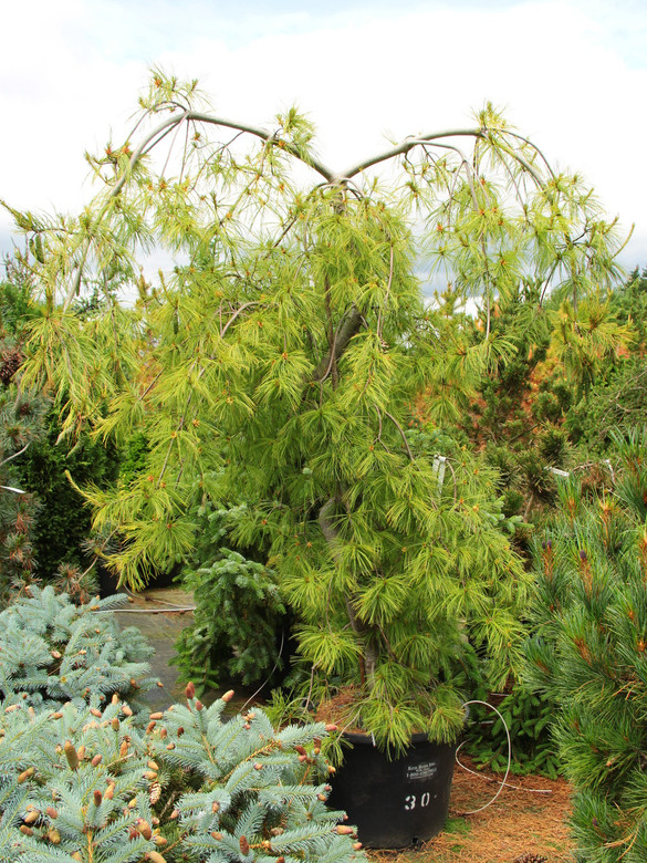 Naturally variable, the well-known weeping white pine has long, twisting, pendulous branches and an irregular form. Staking when young produces a central leader. Soft, long, blue-green needles grow in clusters of five.