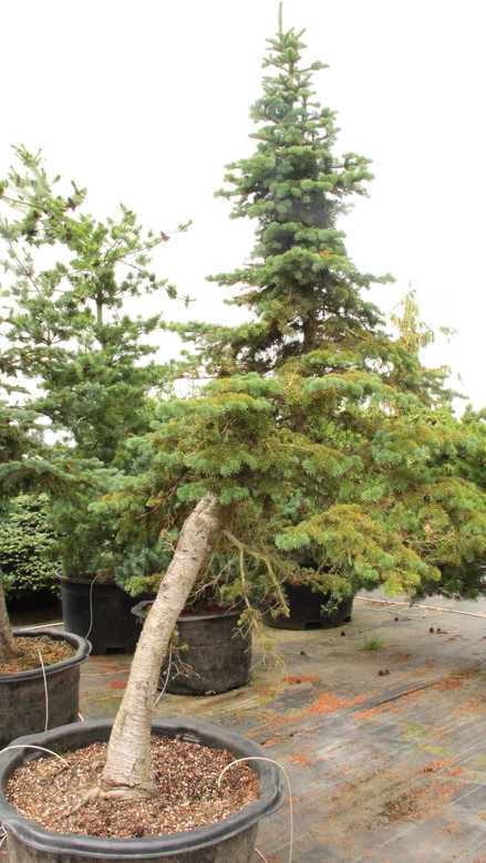 These one-of-a-kind subalpine fir specimens have been collected from high altitudes and harsh natural site conditions. Each piece has its own character and they have been incredible dwarfed by their rough growing conditions.
