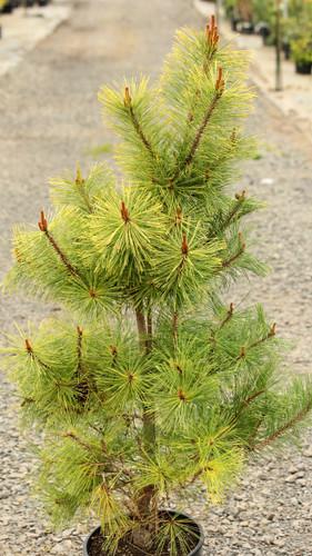 Pinus densiflora 'Aurea' _ Japanese Red Pine _