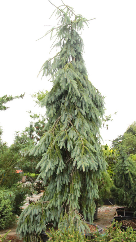 This fast-growing conifer has powder-blue needles on branches that weep down from the main, upright leader. A very soft-textured conifer which makes a great specimen plant.