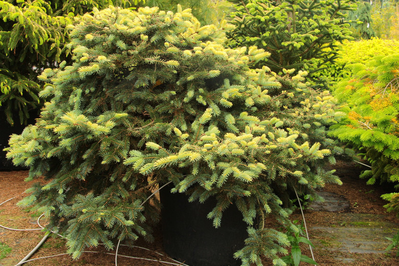 A broad conical form with gray-blue needles tipped with yellow to cream colors in the winter. New growth is creamy blue-green.