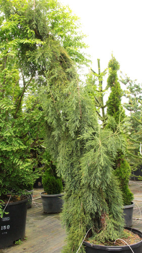 The weeping form of the Giant Redwood has gray-green foliage and incredibly tightly-held pendulous branches that go straight down against the trunk.  If the leader stays straight - as it often will - it can be 15' tall and only 2' wide.  The leader can curve and twist leaving a small footprint, with a spectacular sculptural form.  No matter, it makes an incredible tree.