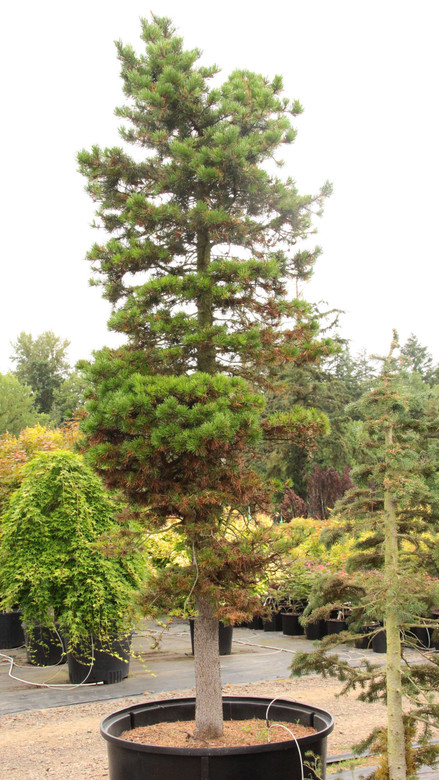 This variant of Pinus contorta is distinct from the shore pine in that it grows in alpine settings, where severe weather creates interesting architectural structures. Each has been dug from the nearby Cascade Mountains.
