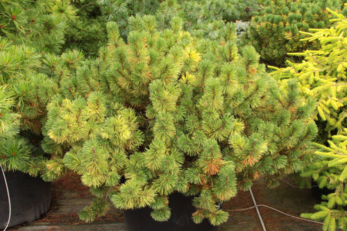 Yellow patches are present throughout the foliage of this low-growing, dwarf pine. The variegation contrasts nicely with the rest of the dark green foliage.