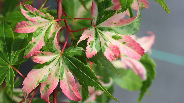 Variegated pink and cream, brighter than Orido nishiki. The bright colors take up the entire leaf, rather than partial variegation.