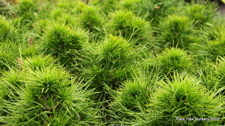 The foliage on this dwarf pine varies in length, with older needles occasionally being 4 times the length of more recent growth! The overall effect forms dense clusters of growth at each branch tip. Color is a deep green in spring and summer but brilliant golden-yellow in winter.