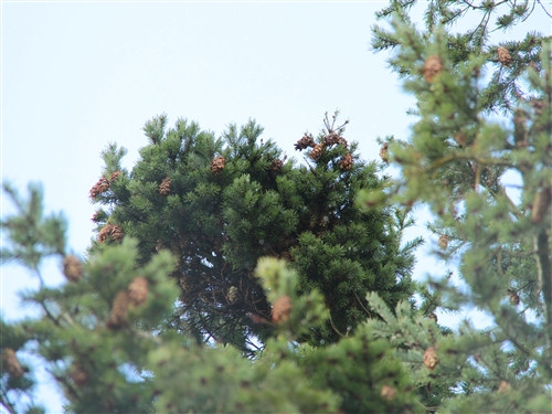 This compact, blue-green Douglas Fir was found as a witch's broom at Evergreen Golf Course in Mt. Angel by Stephanie Krieg. It produces many cones at its branch tips, making it a very attractive dwarf conifer!