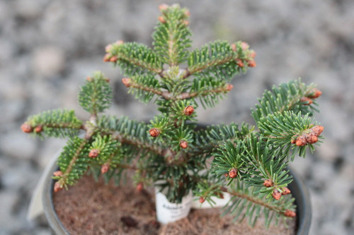 The dwarf bun shape and tiny, bright green needles of this Nordmann fir give it a very tight, clean appearance. Eventually develops into a shrub, wider than high.