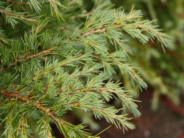 A semi-dwarf cedar with light-green foliage, giving hints of yellowish and silvery tones. A unique and rather dense plant with excellent color throughout the seasons.