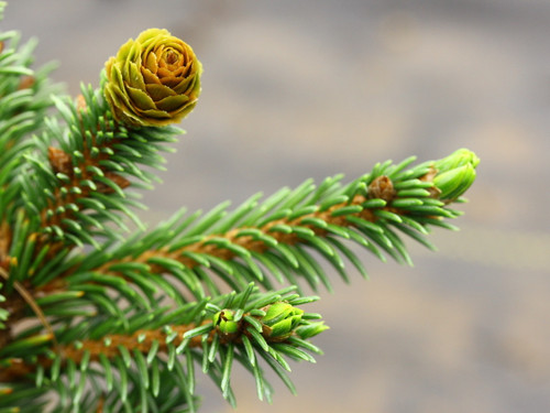 This slow-growing spruce was found as a witch's broom on Picea abies 'Acrocona' at Gee Farms.