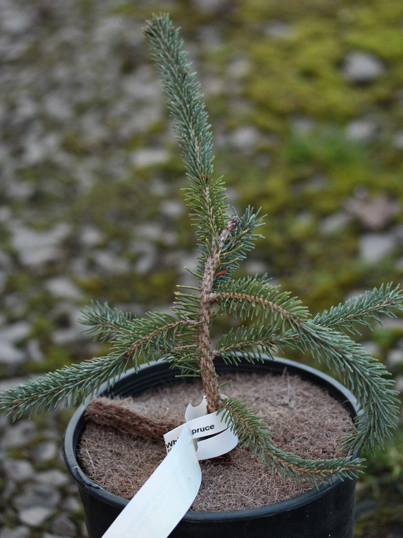 A new weeping variety of White Spruce found by Edwin Smits. Seems to have an irregular, pendulous form with blue-green foliage.