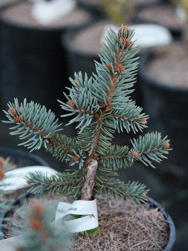A slow-growing, somewhat pyramidal form of Colorado spruce with a nice blue-green color.