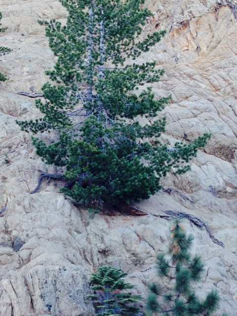 A unique pine found as a witch's broom by Dan Spear in the San Bernadino Mts. Of Southern California. Needles shorter than the species are bright green.