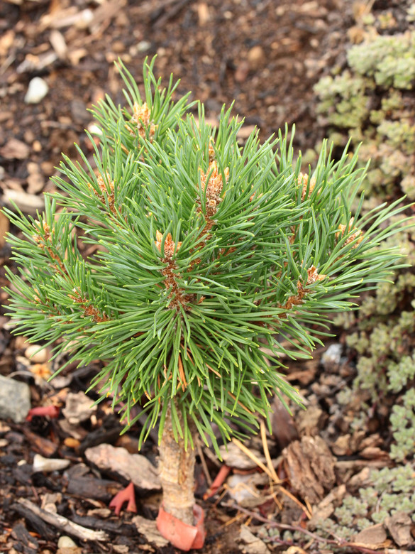 Short needles on this globose pine are a blue-green color. Clusters of orange-brown buds at branch tips make it stand out, esp. in winter. Found as a witch's broom by Sam Pratt &named by Stephanie Krieg to honor its location halfway between Oregon Ducks &Oregon State Beavers campuses.
