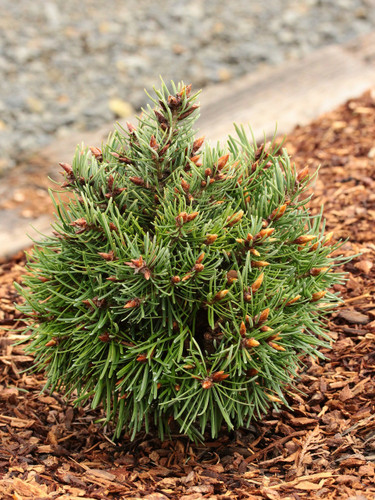 """Lush, blue-green foliage has notably silver-white undersides on this globose conifer. It was found as a witch's broom """"out on a limb"""" of a Doug Fir by Mike and Cheryl Davison."""