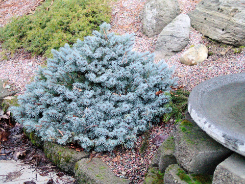 A dwarf form with silver-blue foliage that grows in a squat globose to broad conical form. Great blue needle colors and small size make it a nice choice for a rock garden or foundation planting.