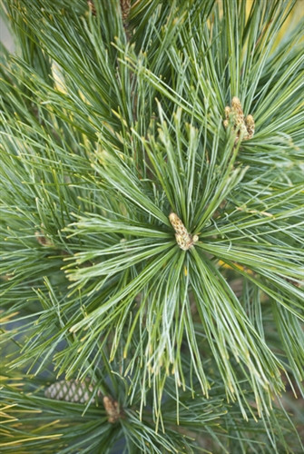 A columnar white pine that is an improvement over 'Fastigiata.' This selection is more dense with a more narrow habit than 'Fastigiata.' The branches are also much more stiff, so it is more resistant to snow load. Rich blue-green needles. Also known as 'Bennett Fastigiate.'