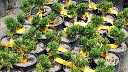 Dark-green needles are very dense on this compact pine. Many of the branches widen at the tips, giving it an almost fasciated appearance! A terrific conifer that adds an interesting texture and year-round color to the garden.