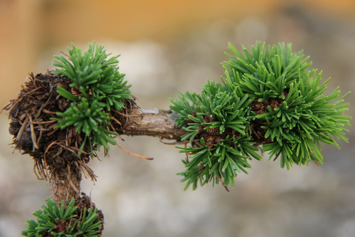 This fascinating dwarf larch has tufts of twisted needles spaced irregularly on the twisting, open branches. Grows to be an irregular dwarf. It originated as a root sprout in the Czech Republic in 1984.