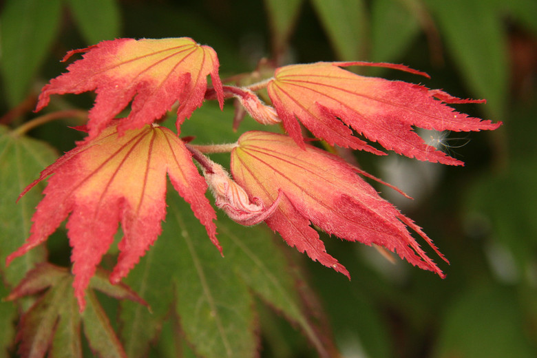 Yellow-green leaves emerge cupped with burgundy-orange tips. It looks as if the entire tree is unfolding soft flowers (the leaves) - others have described it as flocking birds. Tip color lasts until early summer. Summer leaves are flat and held horizontally. Fall color is reds and oranges.