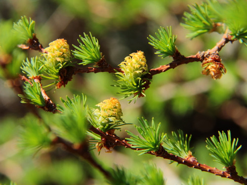 Dainty, yellow-green cones are perched amidst the fresh green tufts of needles on the ascending branches of this narrow, vigorously-upright larch before turning to brown, giving the appearance of paper lanterns hanging from the bare branches in winter.
