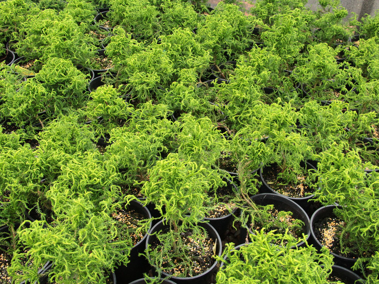 A shrubby variety with tight, curly light-green foliage that is soft and juvenile. It was found as a branch mutation on the variety 'Spiralis'.