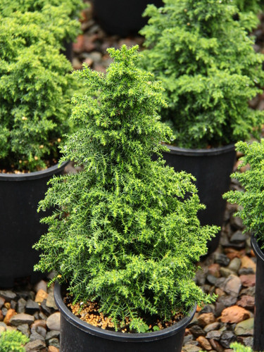 A dense, tight pyramidal conifer that gives the impression of a large tree but on a miniaturized scale. Very dark green foliage gives it a handsome coloration throughout the seasons.