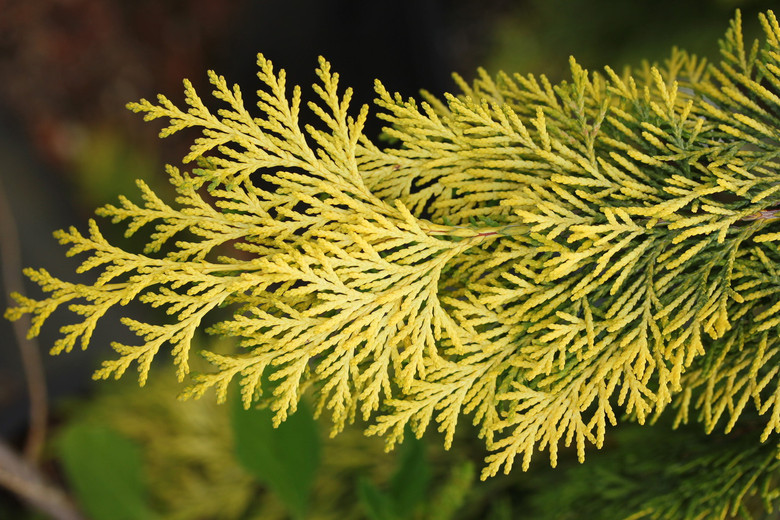Gold-highlighted branches hang gracefully from each pendulous branch on this narrow, upright conifer. It was found as a seedling from 'Dik's Weeping' by Edwin Smits.