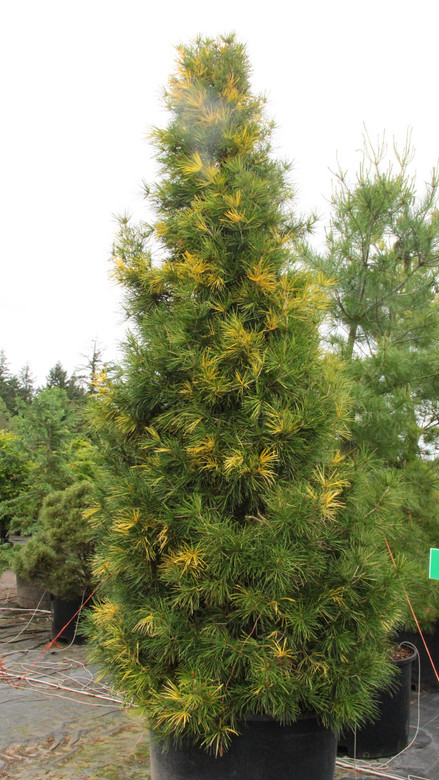 Rich golden-yellow variegation is randomly arranged throughout the thick, dark-green needles of this upright, pyramidal conifer.