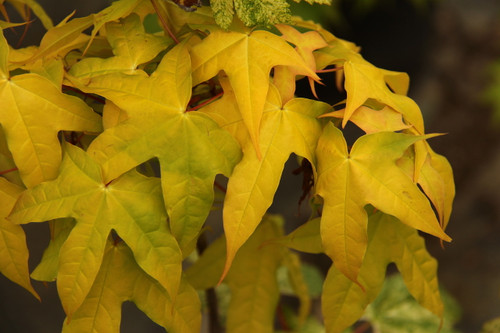 An uncommon species of maple that has bright golden foliage and a distinct leaf shape. Native to China, deciduous.