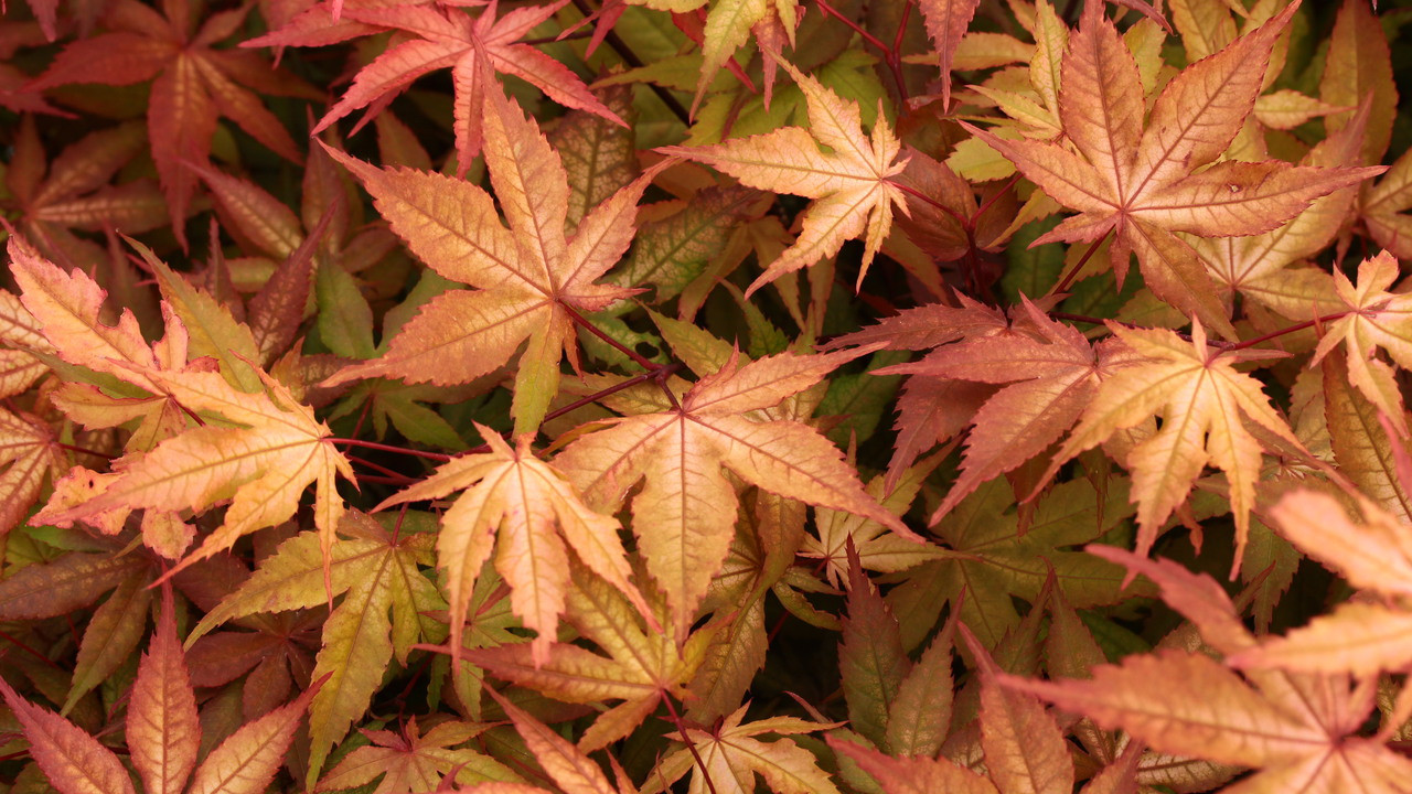 Acer Palmatum Amber Ghost Japanese Maple