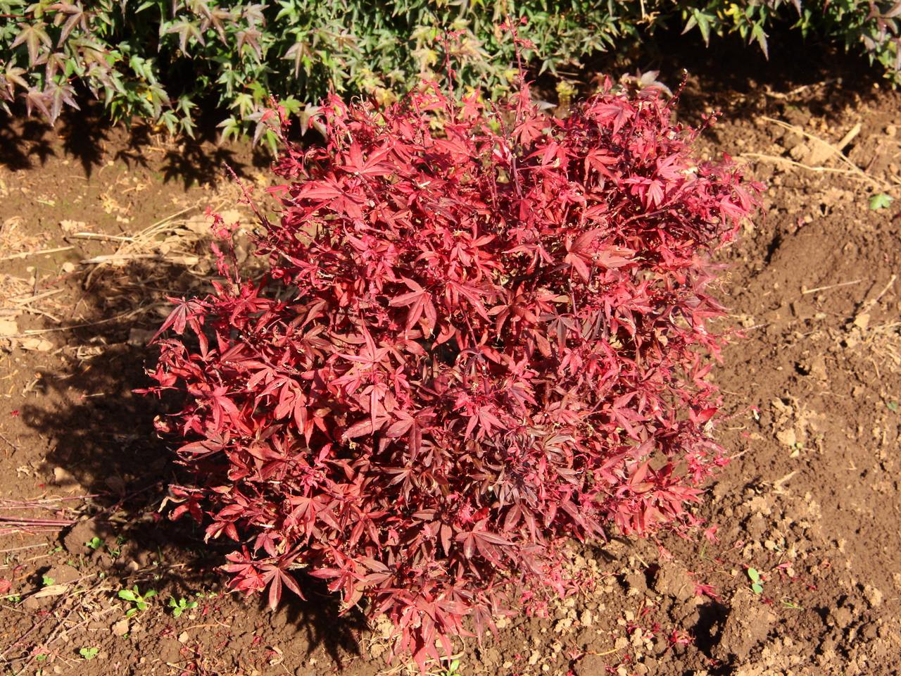Acer Palmatum Hime Shojo Japanese Maple