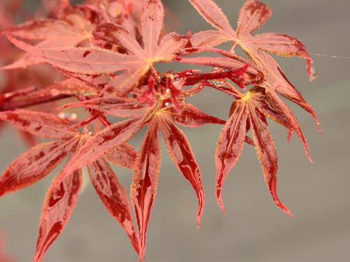 Acer palmatum 'Hime shojo'