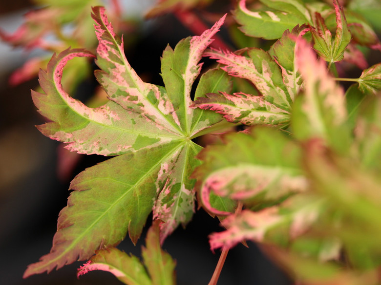 This upright maple has variegation ranging from margins of hot pink to patches of pastel pink. The bark has a tendency to develop striped variegation. Variegation is reminiscent of 'Asahi zuru'.
