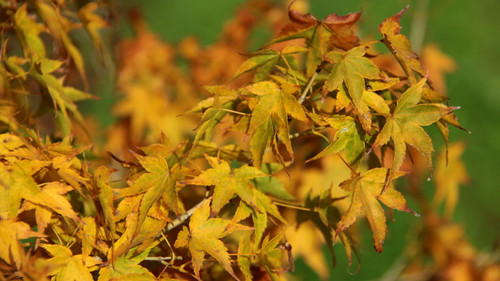 This variety has yellow-green leaves in spring and summer, becoming brilliant gold in fall! A distinct variety that is slightly similar to 'Shidava Gold'.