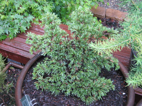 A compact cedar with an irregular but somewhat spreading habit. Short, blue-green needles make this prickly cedar a nice dwarf for any garden.