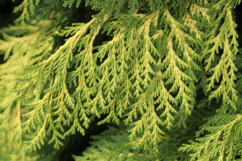 Chamaecyparis lawsoniana 'Golden King' (on DR)