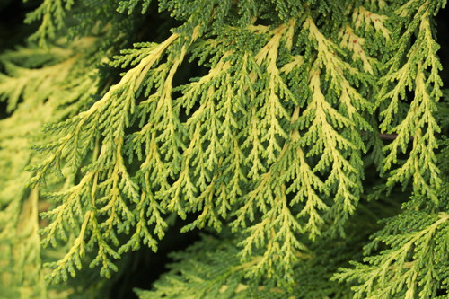 Fast growing with golden yellow foliage. Form is rounded when young and pyramidal with age. Foliage has bright golden tips on light-green centers.