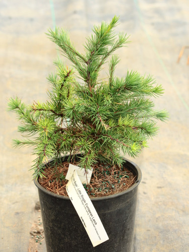 This slow-growing larch has a compact form and bright green foliage in the spring. A delightful dwarf deciduous conifer.