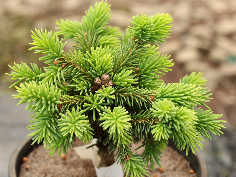 Thick, pointed dark-green needles are accented by large orange-brown buds on this slow-growing, upright spruce.