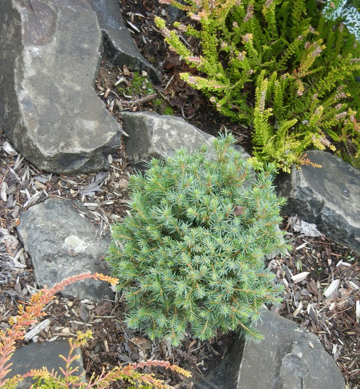 A tight dwarf with unique needles and branches. All foliage has a juvenile appearance. Slow growth and unique foliage make this plant a choice selection.