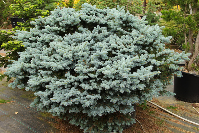 A dwarf globose form with powder blue needles - an improvement over 'Glauca Globosa.'