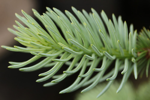 Sprarse, irregularly-spreading branches with blue-green needles form a low, spreading dwarf spruce with thick needles.