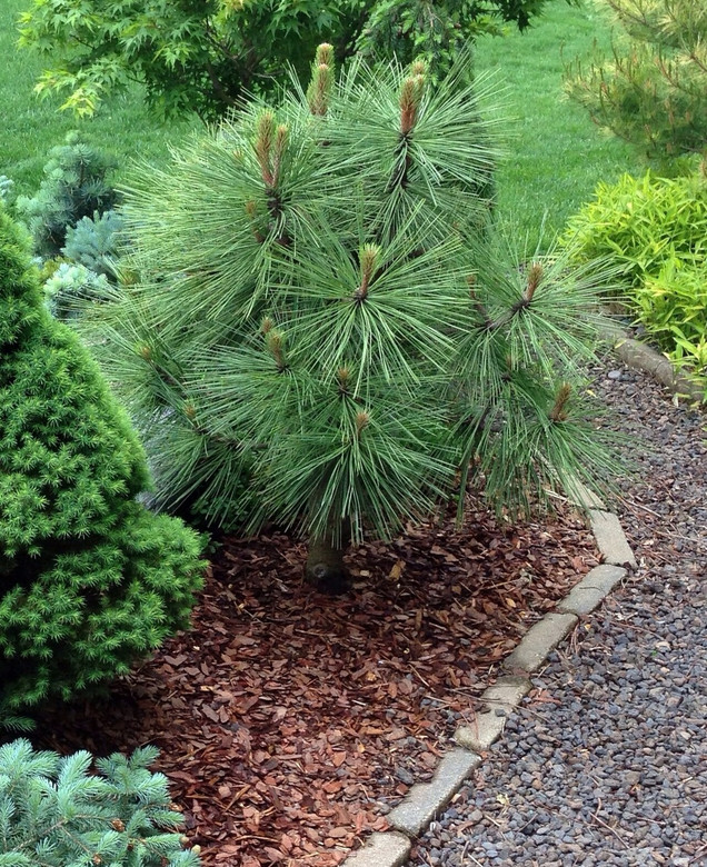 Exceptionally long, dark green needles give this pine a handsome appearance. This more compact version of the species is better for a smaller garden.
