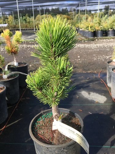 This narrow, upright Mugo Pine has rich, dark-green foliage. The narrow, very slow growth rate makes this new European cultivar a choice selection!