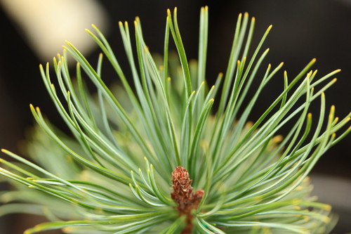A slow-growing, fairly low-growing pine with lush, blue-green foliage.