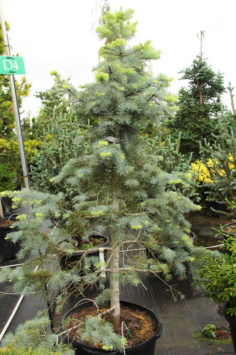 A dense narrow pyramidal concolor fir with gracefully hanging side branches. Powder blue needles and light green-blue new growth give a very soft look.